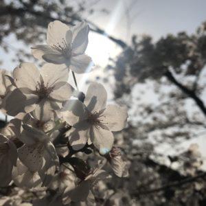 平成最後の桜🌸